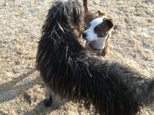 Buster was quite smitten with a long haired labradoodle named Sophie.